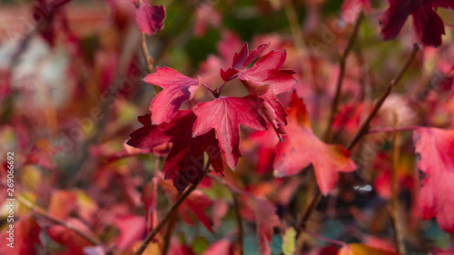 Leaves of Golden current or Ribes aurum in autumn sunlight background, selective Wallpaper Mural