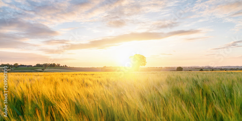 Poster Blanc Gold Wheat flied panorama with tree at sunset with clouds, rural countryside