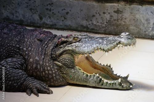 Deurstickers Krokodil Crocodile with mouth open