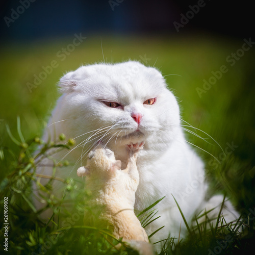 Fototapeta  White Scottish Fold cat with white sugar glider on grass