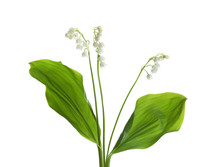 Beautiful Fragrant Lily Of The Valley Flowers On White Background
