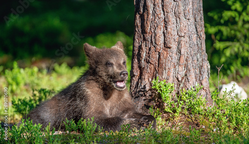 Poster Hyène Cub of Brown Bear in the summer forest. Natural habitat. Scientific name: Ursus arctos.