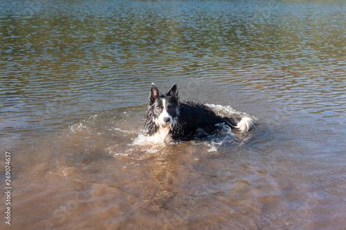 perro border collie en lago chapoteando en el agua Tablou Canvas