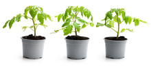 Set Of Tomato Plant In A Pots Isolated On A White