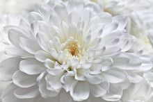 White Chrysanthemum Flower Close-up.