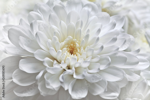 Autocollant pour porte Dahlia White chrysanthemum flower close-up.