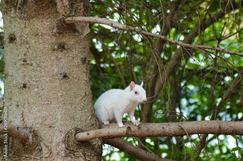 Fototapeta White albino Squirrel