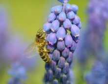 The Bee Pollinates The Flowers Of The Mouse Hyaciant