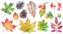 Watercolor Collection Of Autumn Leaves, Berries And Pine Cones On White Background.