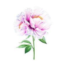 Beautiful White Peony. Bouquet...