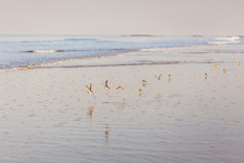 A Flock Of Birds And Its Reflection, Low Angle Of View, In The Morning The Great Sand Plover (Charadrius Leschenaultii) Flies Freely Over The Sea, India, Goa.