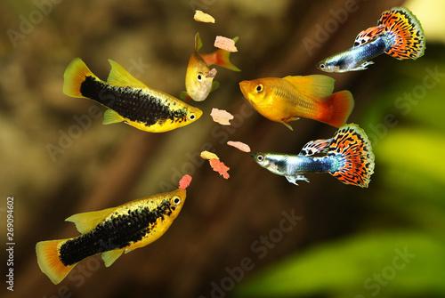 Feeding  aquarium fish eating flake food swarm feeding tetra aquarium fish Wallpaper Mural