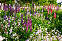 Lupins Growing Wild Roadside I...