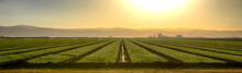 Growing Fields Of California