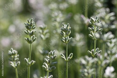 Biała lawenda trzy kwiaty - 269099067