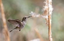 Female Hummingbird Taking Fluf...