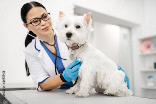 fototapeta na drzwi i meble Vet examining cute little white dog standing on table