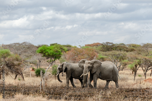 Elephants walking through dusty dry trees and dead grasslands