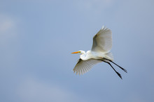 Image Of White Egret Flying In...