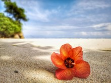 Closeup With A Blooming Red Flower And Tiny Rock On The Beach.