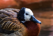 White-faced Whistling Duck Clo...