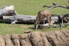 Female Nyala African Striped D...