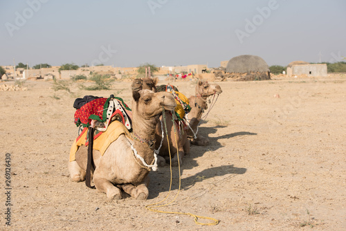 Poster Chameau Native animals in Thar Desert in Rajasthan, India