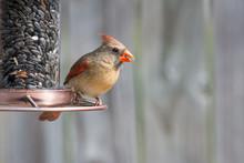 Cardinal Bird On A Bird Feeder...