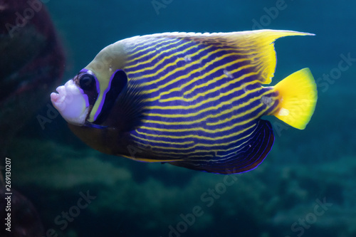 Fototapety, obrazy: Pomacanthus imperator or Imperial angel exotic beautiful coral fish in the aquarium