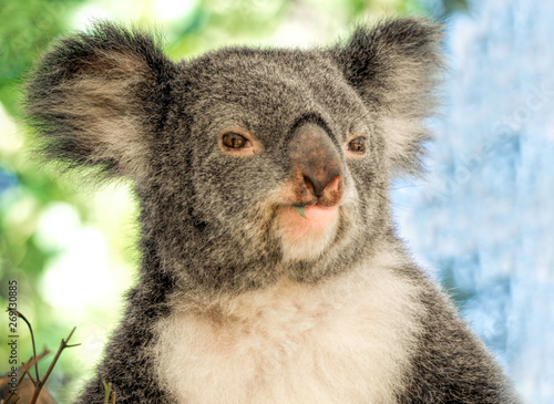 Garden Poster Koala A closeup head shot of a cute koala chewing a piece of eucalyptus leaf.