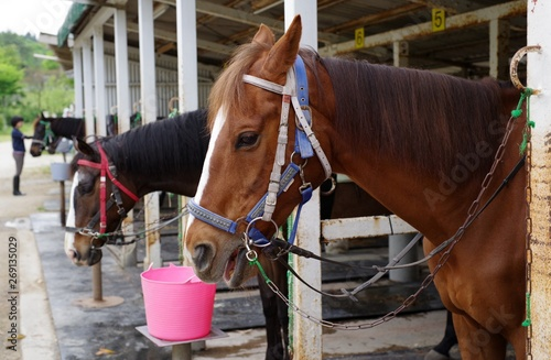 Fototapeta 牧場の馬 obraz