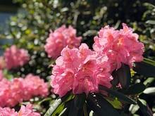Pinkfarbene Blumen Rhododendron