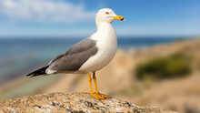 A Beautiful Seagull Stands Proud And Posing On A Rock On The Spanish Coast. In The Background You Can See The Coastline And The Blue Mediterranean With Beautiful Bokeh.
