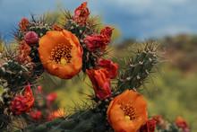 Orange Arizona Cholla Cactus Flower