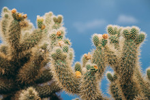 Teddy Bear Cholla Cactus In The Blue Sky