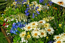 Agapanthus, Hydrangeas And Leucanthemum Close Up In A Flower Border