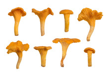 Chanterelles Or Girolles Mushroom.