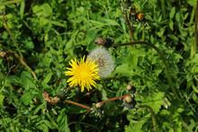 Bloomed Dandelion In Nature Gr...