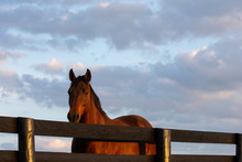 Brown Horse Looking Over Fence...