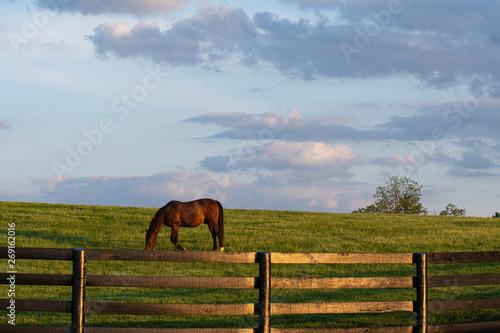 Valokuva  Thoroughbred grazing in KY bluegrass region