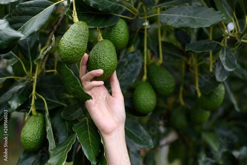 Photo  Woman's hands harvesting fresh ripe organic Hass Avocado