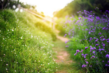 Dirt Path  Through Blooming Verbena Flower Field In The Morning With Warming Light Of Sunrise