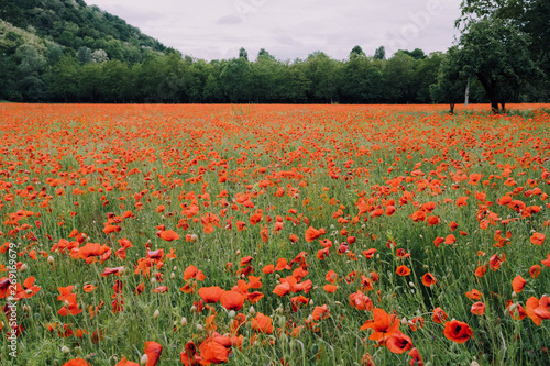 Beautiful summer field with red poppy flowers in full bloom. Idyllic rustic landscape with blooming wildflowers