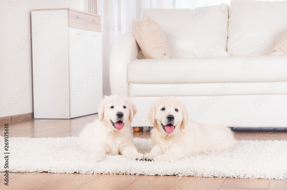 Fototapety, obrazy: Two cute fluffy retriever breed puppies at home