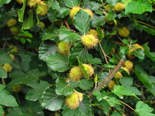 Fagus Sylvatica, European Beech, Common Beech, Blossom Of Tree, Close-up