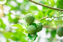 Fresh Bergamot Fruits On Bergamot Tree With Sunlight Bokeh Background