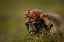 Wet Red Squirrel In The Rain O...