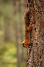 Squirrel Hanging Upside Down F...