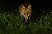 Red Fox In Grass At Night With Black Dark Background.