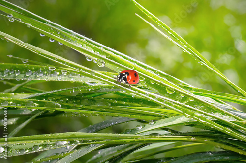 Ladybug on grass in summer in the field close-up Canvas Print